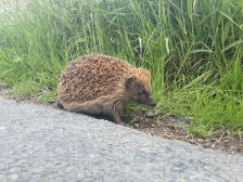 A friendly hedgehog we met on the Sanquhar back road